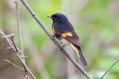 388- American Redstart