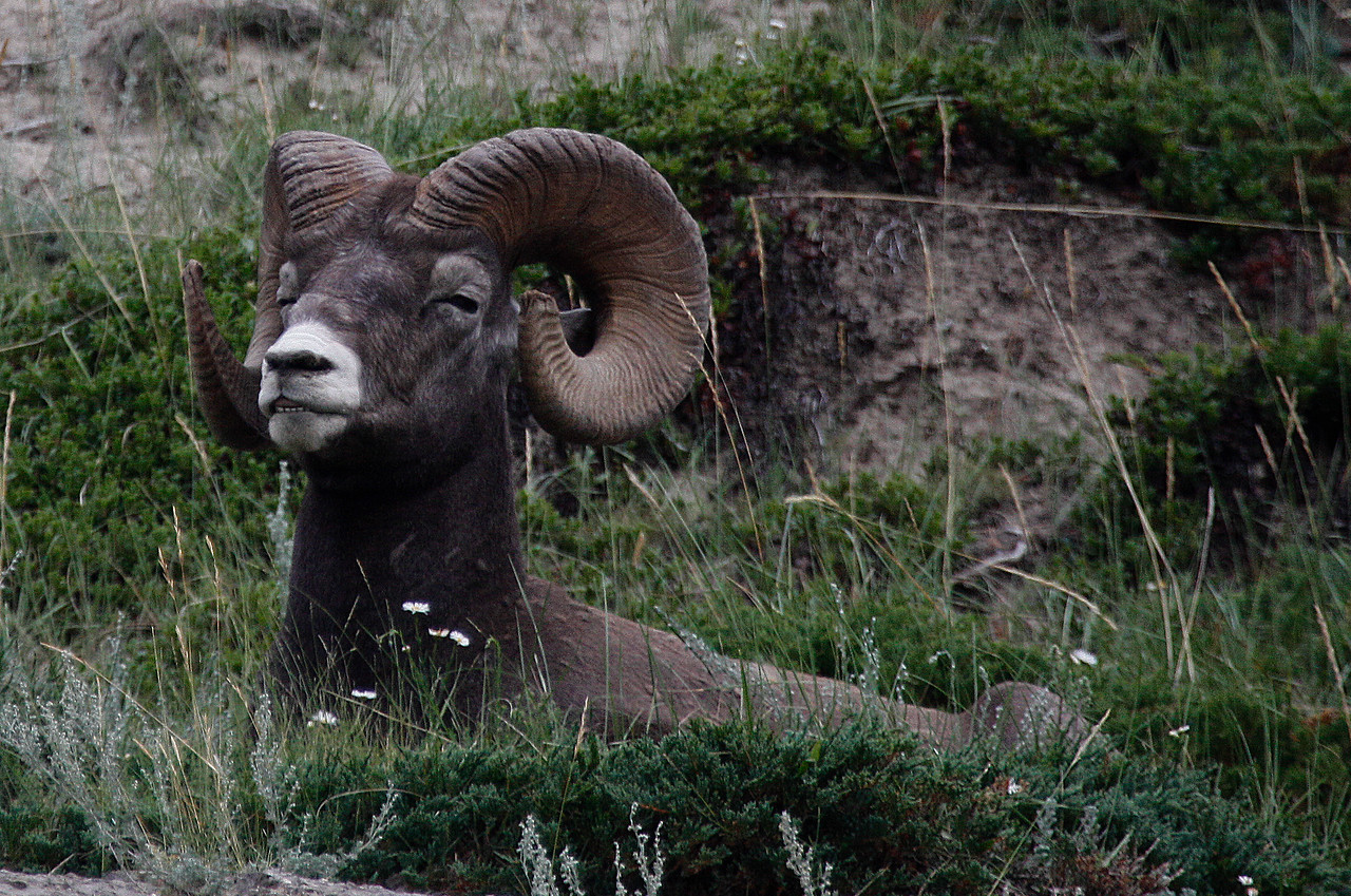 Big Horn Sheep - Jasper National Park