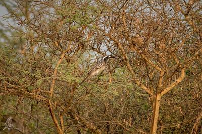 Hornbill, African Grey (spp. nasutus)