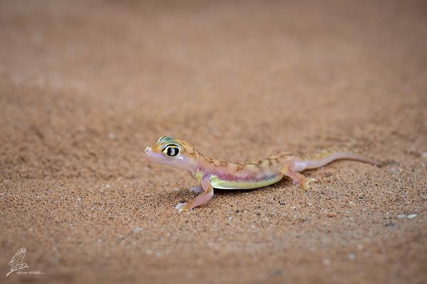 Pachydactylus rangei