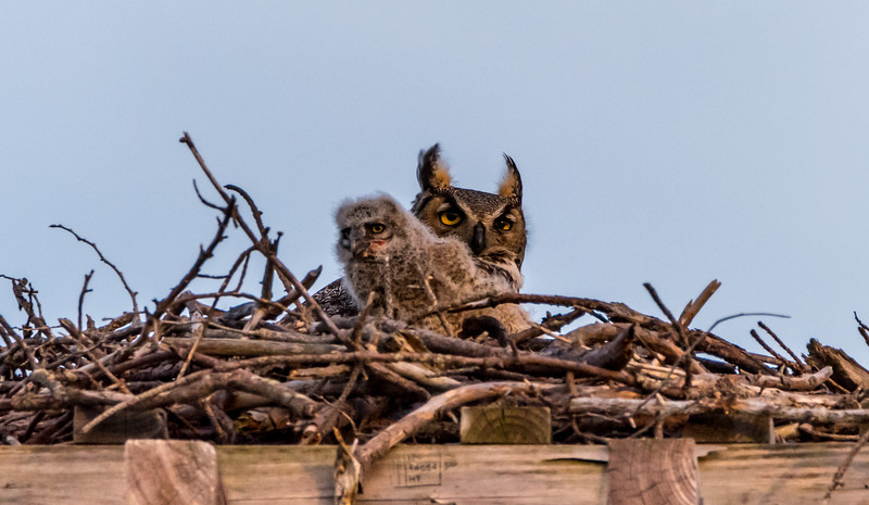 Great Horned Owl and Owlet 4/14/18