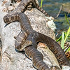 Northern Water Snake Pair 6/24/16