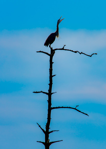 Great Blue Heron Atop Tree 6/17/16