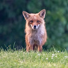 Red Fox in the Grass 6/13/17