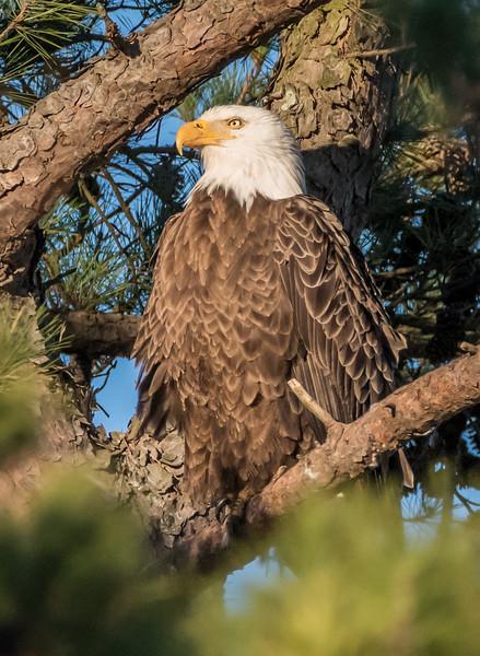 Bald Eagle Perched at Dusk 3/8/17