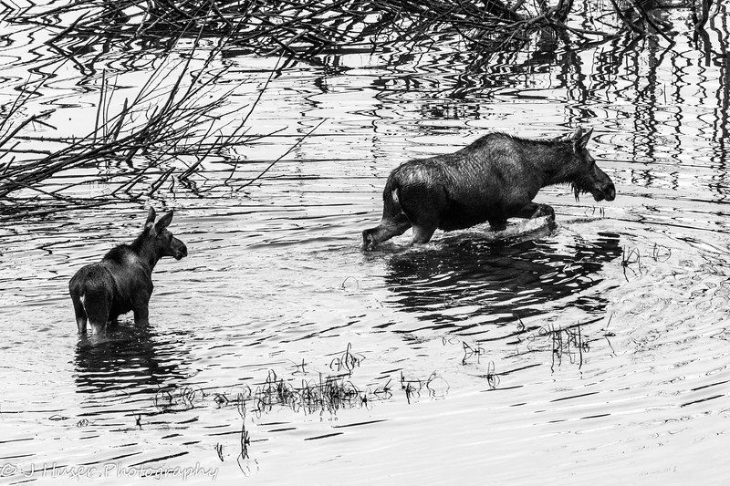 Mother moose and calf in water