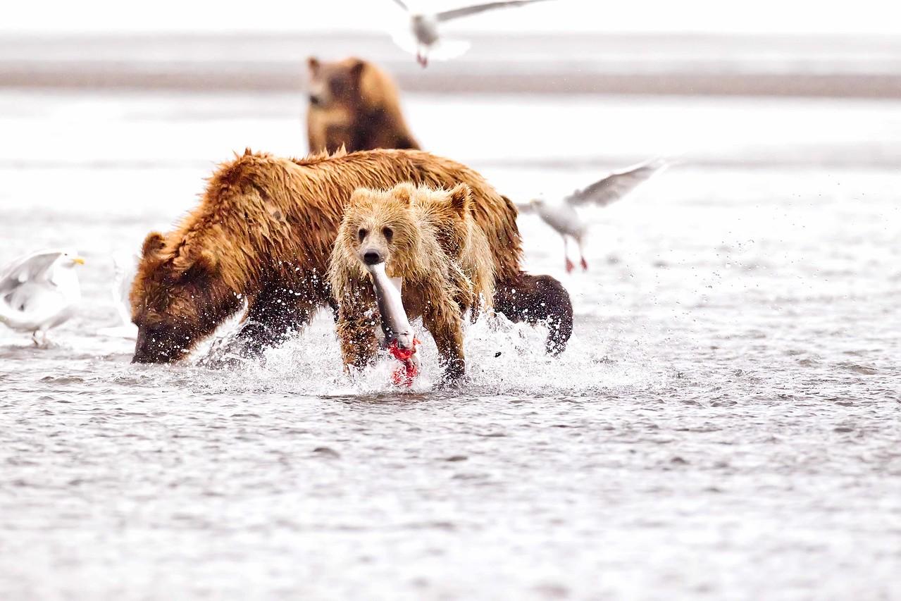 Coastal Brown Bears, Lake Clark NP