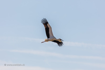 Stork in flight