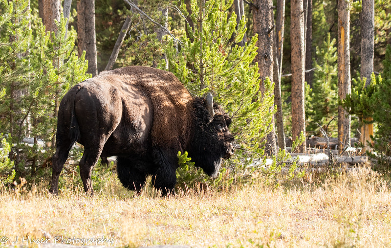 Buffalo rubbing horns on tree