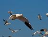 Snow Goose Subject Separation