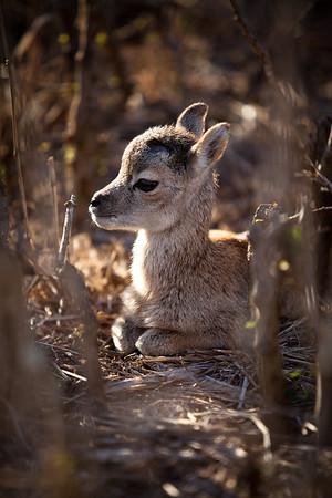 Baby Mouflon