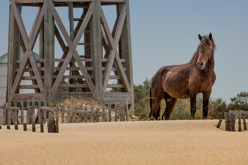 Wild Horse of Corolla