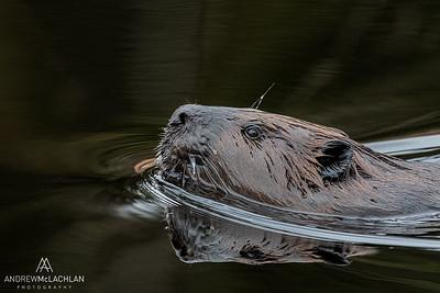 Beaver (Castor canadensis) in Algonquin Provincial Park, Ontario, Canada