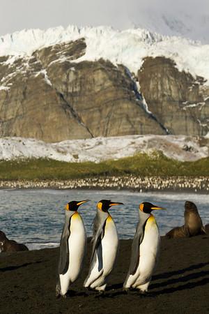 King penguin portrait