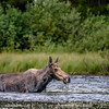 Moose at Fishercap Lake, Many Glacier, Glacier National Park, Montana