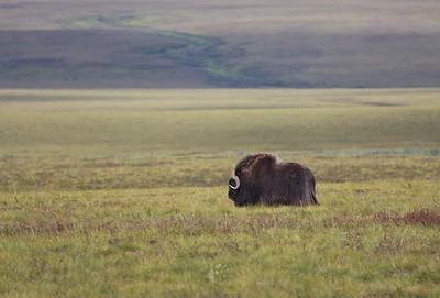 Tundra Bull