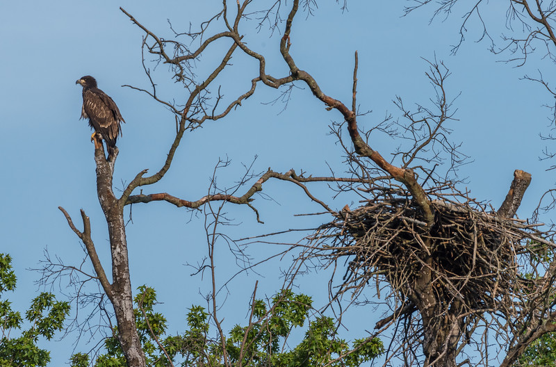 A Juvenile Bald Eagle Far From Home 7/20/17