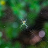 Banana Spider on Web