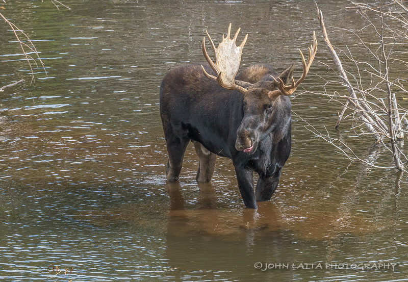 Bull Moose Standing in Pond