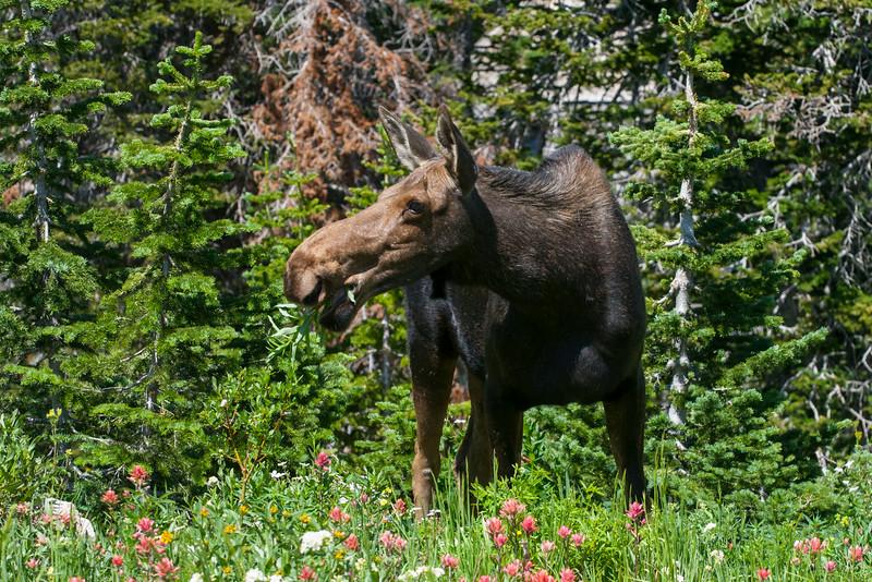 moose, Alta