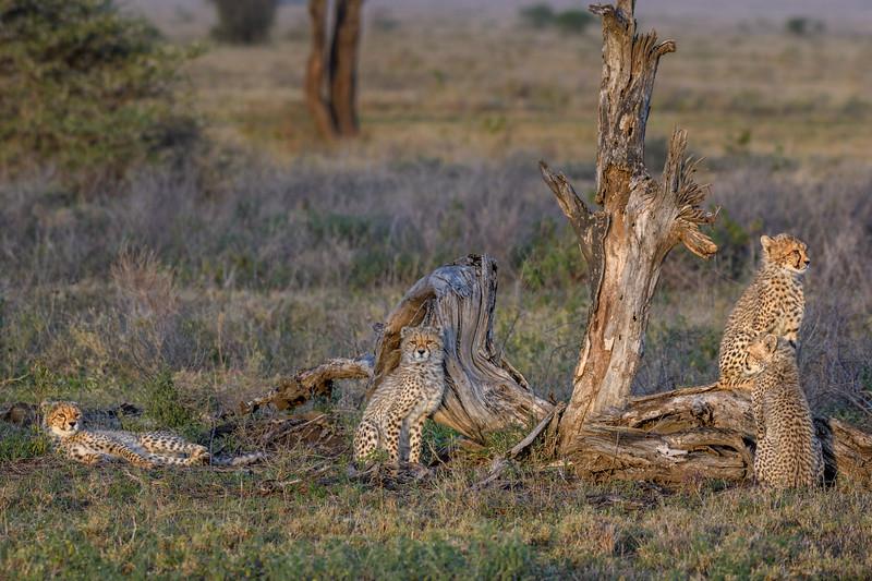 Four cheetah siblings relaxing in the early morning light in Ndutu, Tanzania, East Africa