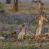 Four cheetah siblings in the early morning light in Ndutu, Tanzania, East Africa