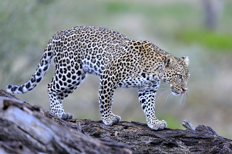 Leopard Approaching Prey, Tanzania, East Africa