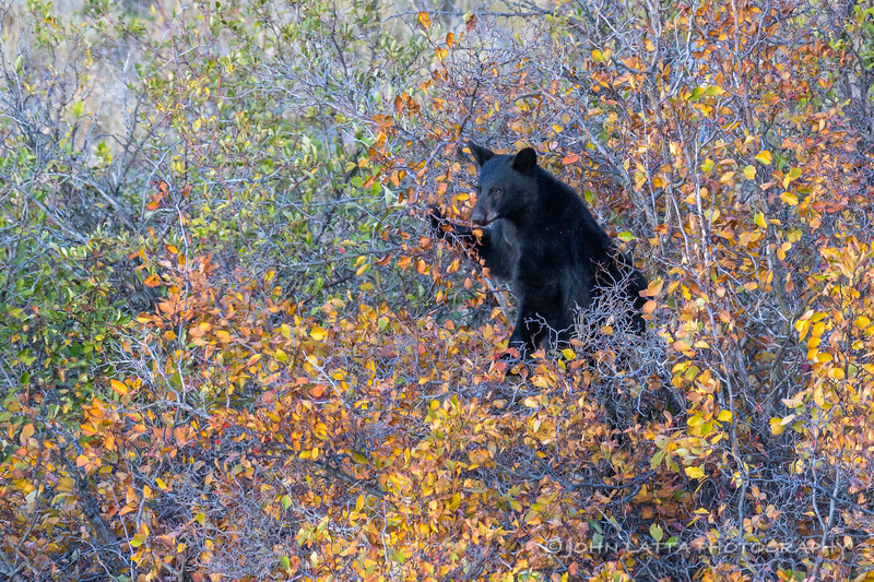 Black Bear Feeding On Black Hawthorn Berries