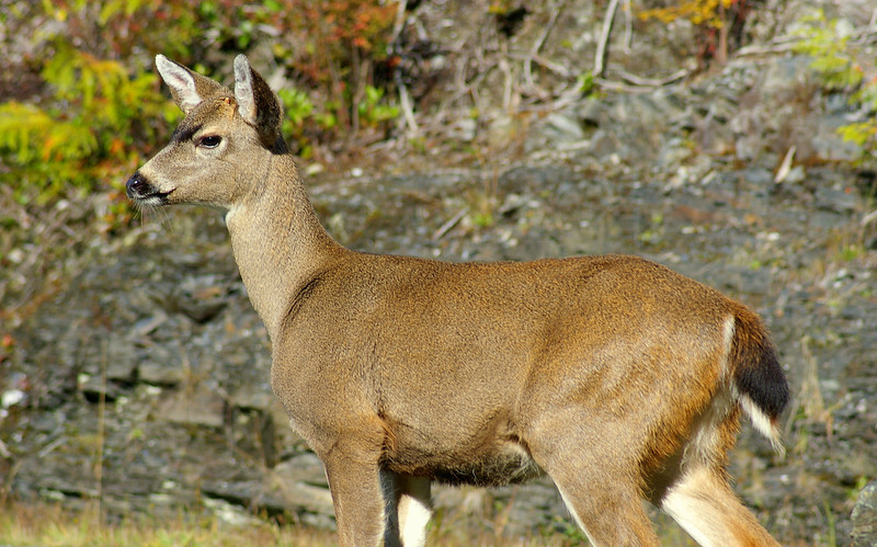 Black-tailed Button Buck, Vancouver Island, British Columbia