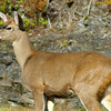 Black-tailed button buck, Vancouver Island, BC