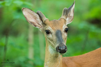 White-tailed Deer (Odocoileus virginianus), Parry Sound, Ontario, Canada