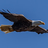 Bald Eagle in Flight 2/25/19
