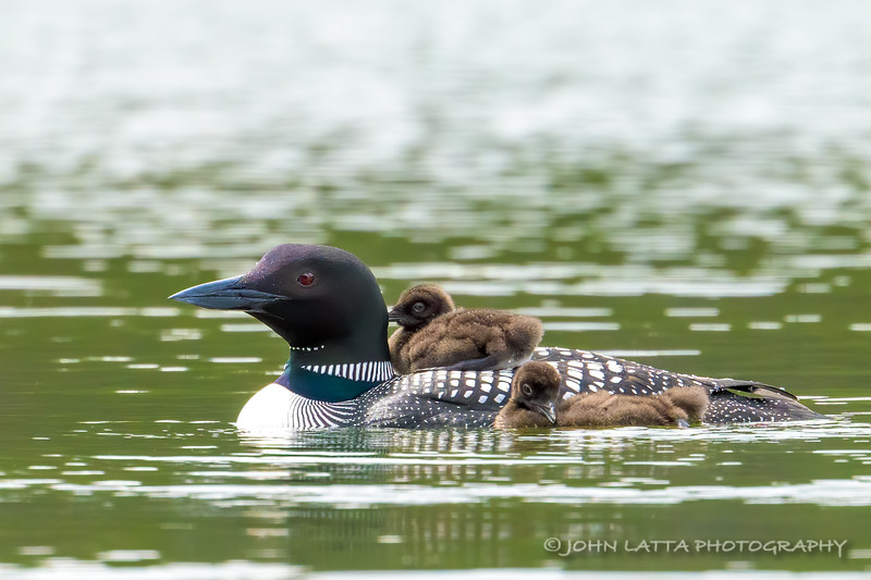 Male Loon with Two Chicks