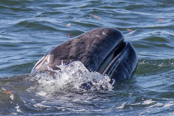 Grey whale profile