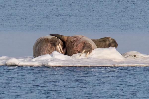 Walrus buddies