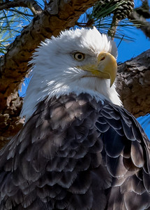 A Portrait Of A Bald Eagle 1/11/19