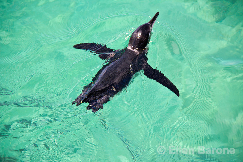 Galapagos penguin, the only penguin that lives north of the equator in the wild, Isla Isabela, Galapagos Islands, Ecuador.