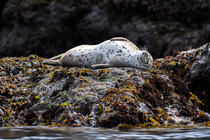 Spotted Seal (Phoca largha) resting on a bed of kelp at low tide, Bandon Beach, Oregon Coast