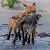 Red Fox Kit Fighting For Food From Mama 5/31/21