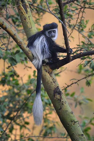 Colobus Monkey, Lake Nakuru National Park, Kenya, East Africa