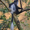 Colobus Monkey, Kenya, East Africa