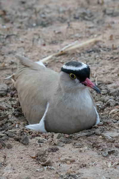 Vanellus coronatus