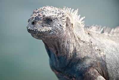 Marine iguana - Isla Santa Cruz