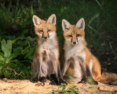 A pair of young fox (kits).