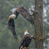 Eagle Diving from Perch