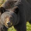 Agressive Bear.  Yukon Territory.  Canada.