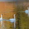Trumpeter Swan Trio