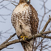Red-Tailed Hawk 1/12/17