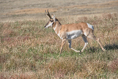 Pronghorn Trotting