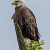 A Bald Eagle Perched on a Branch 5/23/16